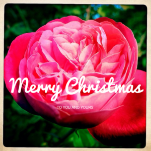 Merry Christmas Rose