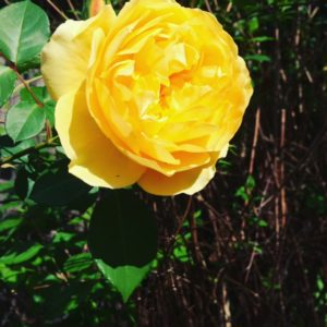 allison tait yellow rose