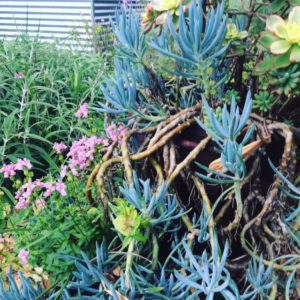 allison tait succulents garden